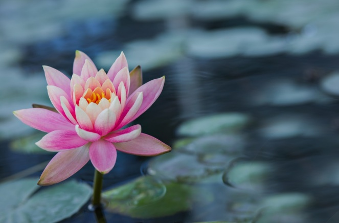 water_lily_pink