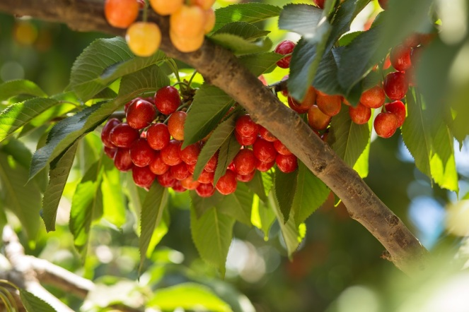 cherry_tree_red