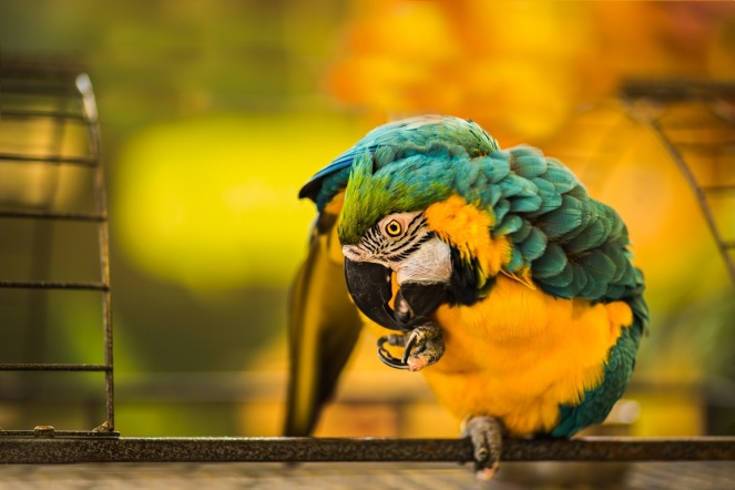 blue_yellow_macaw