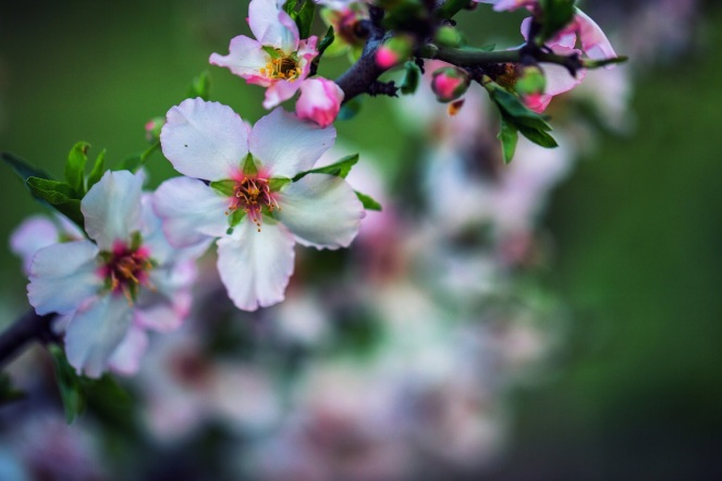 almond_bloom