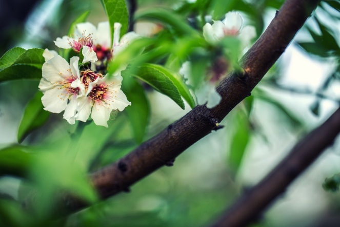almond_tree_bloom
