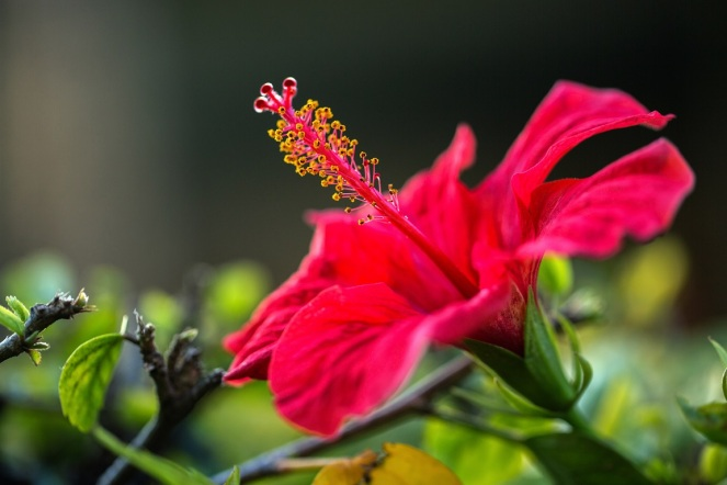 hibiscus_red_flower